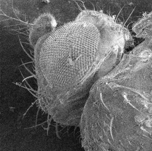 SEM image of the head of a fruit fly.